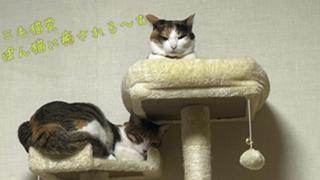 三毛猫党 ぽん猫に癒される〜む